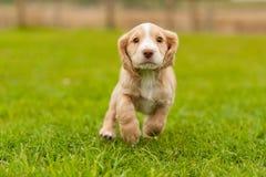 Filhote de cachorro do spaniel de Springer Fotografia de Stock