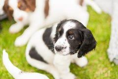 Filhote de cachorro do spaniel de Springer Imagens de Stock