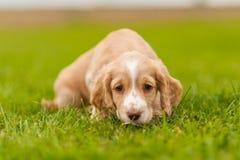 Filhote de cachorro do spaniel de Springer Foto de Stock Royalty Free