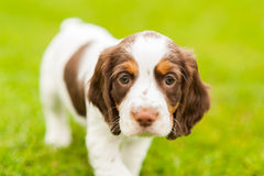 Filhote de cachorro do spaniel de Springer Fotografia de Stock Royalty Free