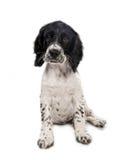 Filhote de cachorro do spaniel de springer inglês foto de stock