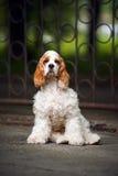 Filhote de cachorro do Spaniel que senta e que olha a câmera Imagens de Stock