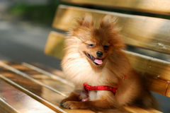 Filhote de cachorro do Spitz Fotos de Stock