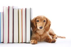 Filhote de cachorro do suporte para livros Fotos de Stock Royalty Free