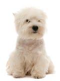 Filhote de cachorro do terrier branco de montanhas ocidentais Fotos de Stock