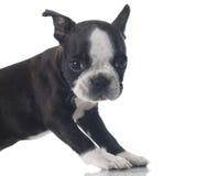 Filhote de cachorro do terrier de Boston imagem de stock royalty free