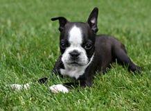 Filhote de cachorro do terrier de Boston fotografia de stock royalty free