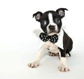 Filhote de cachorro do terrier de Boston fotos de stock royalty free