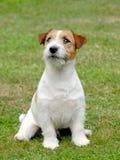 Filhote de cachorro do terrier de Jack Russel Imagem de Stock