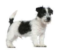 Filhote de cachorro do terrier de Jack Russell, 4 meses velho Imagens de Stock Royalty Free