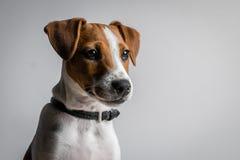 Filhote de cachorro do terrier de Jack Russell Imagem de Stock