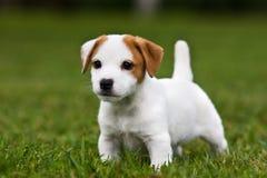 Filhote de cachorro do terrier de Jack Russell Fotos de Stock