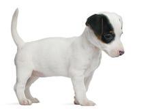 Filhote de cachorro do terrier de Jack Russell, 7 semanas velho Fotografia de Stock