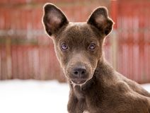 Filhote de cachorro do terrier de Pattedale Foto de Stock Royalty Free
