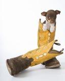 Filhote de cachorro do terrier de rato Fotografia de Stock Royalty Free