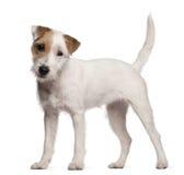 Filhote de cachorro do terrier de Russell do Parson, 6 meses velho Imagens de Stock