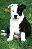 Filhote de cachorro do terrier de Staffordshire Imagens de Stock