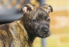 Filhote de cachorro do terrier de Staffordshire Bull foto de stock