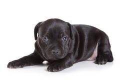 Filhote de cachorro do terrier de Staffordshire Bull Fotos de Stock Royalty Free