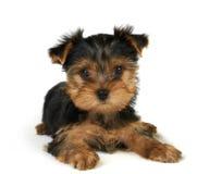 Filhote de cachorro do terrier de Yorkshire fotografia de stock royalty free