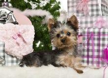Filhote de cachorro do terrier de Yorkshire, 3 meses velho, encontrando-se Fotografia de Stock Royalty Free