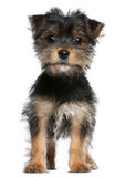 Filhote de cachorro do terrier de Yorkshire, 3 meses velho, posição Imagens de Stock Royalty Free