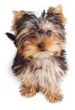 Filhote de cachorro do terrier de Yorkshire Imagens de Stock Royalty Free