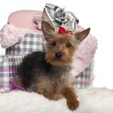 Filhote de cachorro do terrier de Yorkshire, 6 meses velho, encontrando-se Imagens de Stock Royalty Free