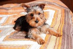 Filhote de cachorro do terrier de Yorkshire Imagem de Stock Royalty Free