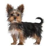 Filhote de cachorro do terrier de Yorkshire, 8 semanas velho, posição Fotografia de Stock
