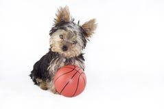 Filhote de cachorro do terrier de Yorkshire com basquetebol Fotografia de Stock Royalty Free