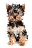 Filhote de cachorro do terrier de Yorkshire em um fundo branco Fotografia de Stock