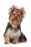 Filhote de cachorro do terrier de Yorkshire em um fundo branco imagem de stock