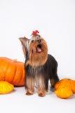 Filhote de cachorro do terrier de Yorkshire em um fundo branco Fotografia de Stock Royalty Free