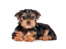 Filhote de cachorro do terrier de Yorkshire isolado no branco foto de stock royalty free