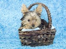 Filhote de cachorro do terrier de Yorkshire na cesta Fotografia de Stock Royalty Free