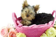 Filhote de cachorro do terrier de Yorkshire na cesta cor-de-rosa Imagens de Stock