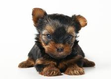 Filhote de cachorro do terrier de Yorkshire no fundo branco Imagens de Stock Royalty Free