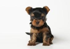 Filhote de cachorro do terrier de Yorkshire no fundo branco Fotos de Stock Royalty Free