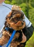 Filhote de cachorro do terrier de Yorkshire que está sendo prendido por Criança Foto de Stock