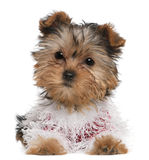 Filhote de cachorro do terrier de Yorkshire vestido acima Fotos de Stock Royalty Free