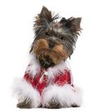 Filhote de cachorro do terrier de Yorkshire vestido acima Imagens de Stock