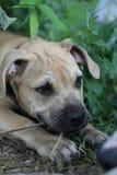 Filhote de cachorro do terrier do pitbull que mastiga a filial pequena Imagem de Stock