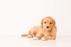 Filhote de cachorro do Toller Foto de Stock
