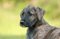 Filhote de cachorro do Wolfhound irlandês Imagens de Stock Royalty Free