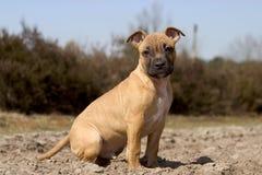 Filhote de cachorro doce Imagem de Stock Royalty Free