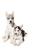 Filhote de cachorro dois bonito pequeno do cão do cão de puxar trenós Siberian com os olhos azuis isolados Imagem de Stock