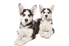 Filhote de cachorro dois bonito pequeno do cão do cão de puxar trenós Siberian com os olhos azuis isolados Imagem de Stock Royalty Free