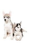 Filhote de cachorro dois bonito pequeno do cão do cão de puxar trenós Siberian com os olhos azuis isolados Imagens de Stock Royalty Free