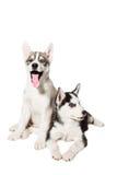 Filhote de cachorro dois bonito pequeno do cão do cão de puxar trenós Siberian com os olhos azuis isolados Foto de Stock Royalty Free